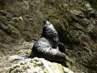 Baby seal at Ohau Stream and Waterfall